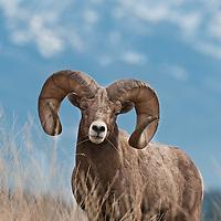mature, trophy bighorn sheep ram wild rocky mountain big horn sheep