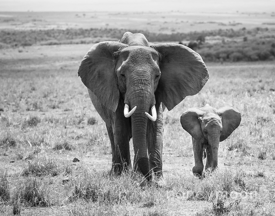 Elephant and baby roaming in the Mara Triangle.<br />