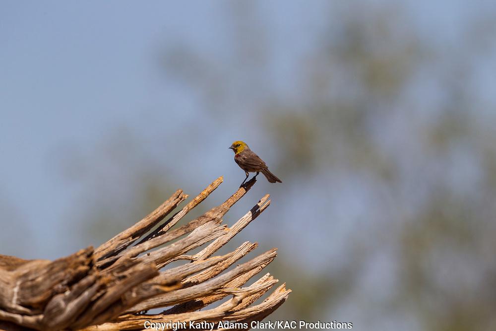 Verdin, Auriparus flaviceps; Sonoran Desert; Southern; Summer; Arizona;