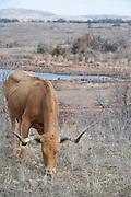 USA, Oklahoma, Wichita Mountains National Wildlife Refuge, Longhorn Cattle