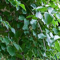 Purple Kiwi (Actinidia melandra)