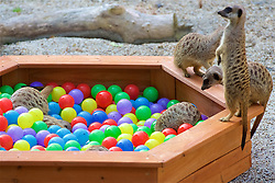 Edinburgh Zoo's Meerkats make the most of a large ball pool filled with colourful plastic balls donated by the People's Postcode Lottery to the meerkat family at RZSS Edinburgh Zoo, as part of the Zoo's enrichment programme. 16th August 2016(c) Brian Anderson | Edinburgh Elite media<br /> <br /> (c) Brian Anderson | Edinburgh Elite media