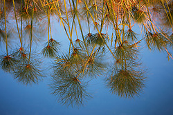 Reflection of papyrus in the water of the Delta, Okavango Delta, Botswana,Africa