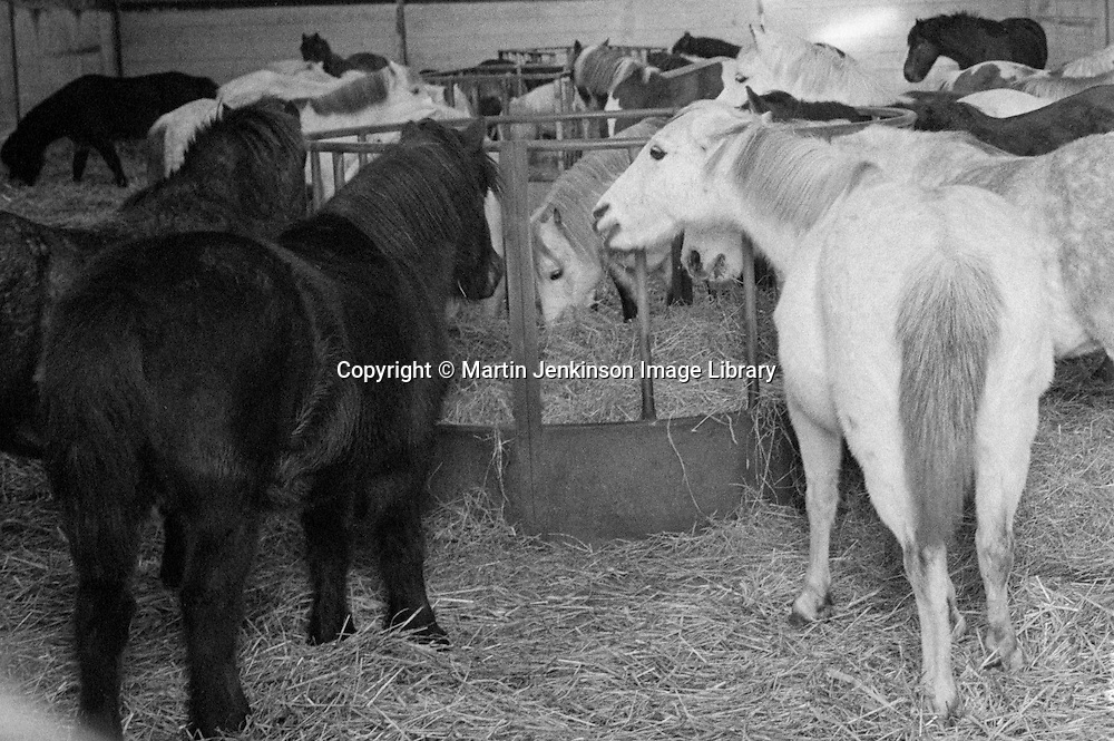 Ellington Colliery pit ponies stabled during the 1984-85 miners strike. 6 Dec 1984