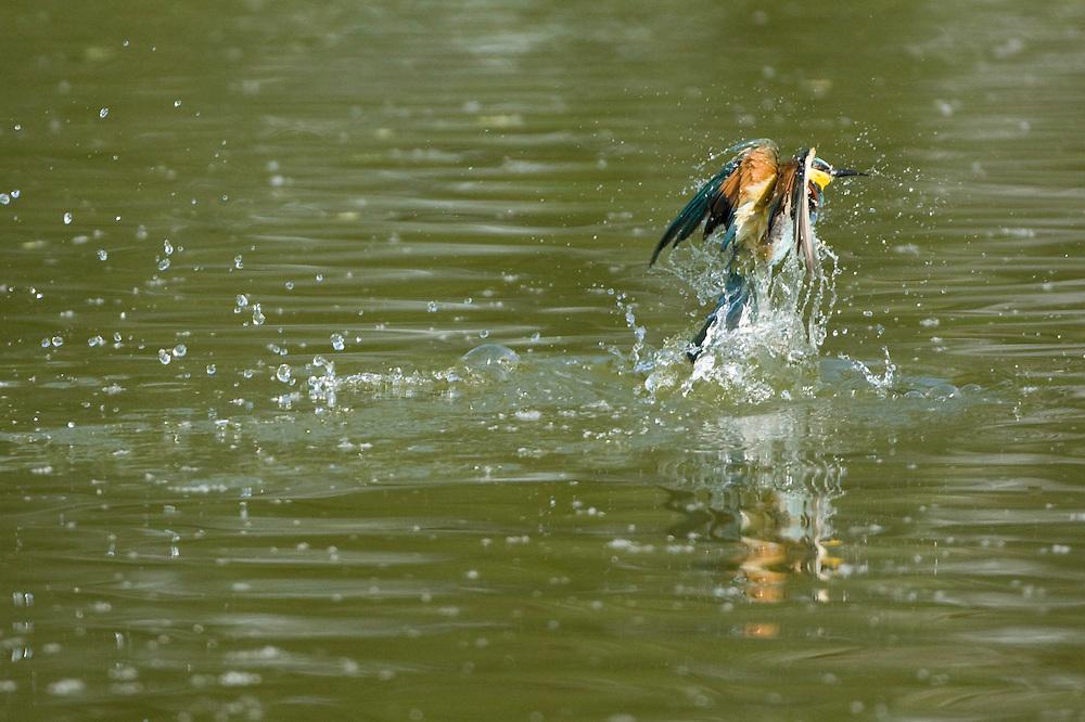Bee-eater (Merops apiaster) taking off after the bathe, Bienenfresser fliegt nach dem Bad weiter, near Nikopol, Bulgaria
