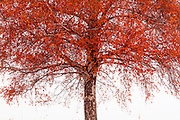 Beautiful tree in the mist with red leaves