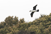 Pied Shag in flight at Stewart Island, New Zealand