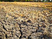 01 JULY 2015 - NON PHAK NAK, SUPHAN BURI, THAILAND:  A dried out rice paddy in Lopburi province. Central Thailand is contending with drought. By one estimate, about 80 percent of Thailand's agricultural land is in drought like conditions and farmers have been told to stop planting new acreage of rice, the area's principal cash crop. Water in reservoirs are below 10 percent of their capacity, a record low. Water in some reservoirs is so low, water no longer flows through the slipways and instead has to be pumped out of the reservoir into irrigation canals. Farmers who have planted their rice crops are pumping water out of the irrigation canals in effort to save their crops. Homes have collapsed in some communities on the Chao Phraya River, the main water source for central Thailand, because water levels are so low the now exposed embankment is collapsing. This is normally the start of the rainy season, but so far there hasn't been any significant rain.    PHOTO BY JACK KURTZ