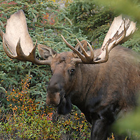 This bull moose cautiously surveys his surroundings after emerging from a spruce thicket.