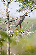 Yellow-crowned Night Heron, Louisiana, North America