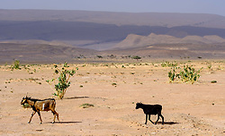 Goats wandering in the desert near Lake Iriki, Souss-Massa territory, Morocco<br /> <br /> (c) Andrew Wilson | Edinburgh Elite media