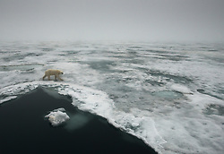 Polar bear (Ursus maritimus) on ice in Spitsbergen, Svalbard