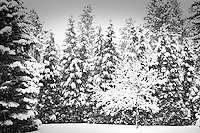 A snow covered tree surrounded by snowy fir trees in black and white.