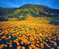 I wanted the bright orange flowers in the foreground to dominate this photo of California Poppies in peak bloom creeping up a hillside.