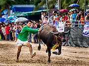 23 OCTOBER 2018 - CHONBURI, CHONBURI, THAILAND:  A jockey dismounts his water buffalo during the buffalo races in Chonburi. Contestants race water buffalo about 100 meters down a muddy straight away. The buffalo races in Chonburi first took place in 1912 for Thai King Rama VI. Now the races have evolved into a festival that marks the end of Buddhist Lent and is held on the first full moon of the 11th lunar month (either October or November). Thousands of people come to Chonburi, about 90 minutes from Bangkok, for the races and carnival midway.   PHOTO BY JACK KURTZ