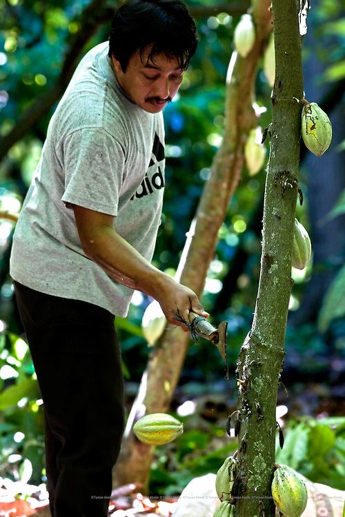 Demetria Gutiérrez and her son David harvesting cocoa pods in their 10 hectare plantation. Álvaro Obregón cooperative. Tapachula, Mexico.