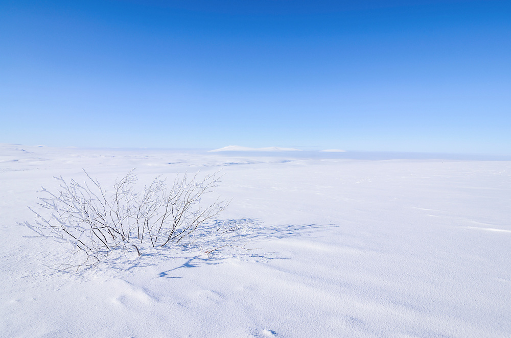 A lone bush struggles for survival amidst the frozen arctic terrain of Northern Alaska.