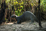 Giant Otter (Pteronura brasiliensis)<br /> Northern Pantanal<br /> Mato Grosso<br /> BrazilGiant Otter (Pteronura brasiliensis) sprainting<br /> Northern Pantanal<br /> Mato Grosso<br /> Brazil<br /> Sprainting, using a pungent scent from a scent gland to mark territoryGiant Otter (Pteronura brasiliensis) sprainting<br /> Northern Pantanal<br /> Mato Grosso<br /> Brazil<br /> Sprainting, using a pungent scent from a scent gland to mark territory