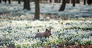 © Licensed to London News Pictures. 18/02/2015. Welford, UK  Tumble, the Yorkshire Terrier, takes a walk through snowdrops in bloom at Welford Park in Berkshire today 18th February 2015. The Galanthus Nivalis display at Welford Park is in a beech wood covering approximately 5 acres alongside the River Lambourn. Photo credit : Stephen Simpson/LNP