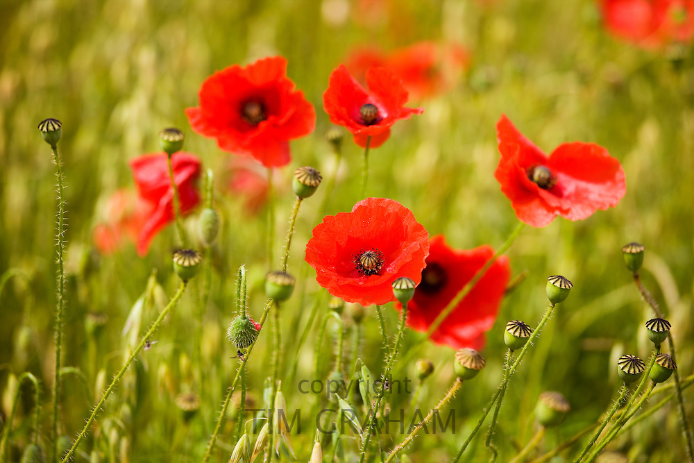 Corn poppies, Papaver rhoeas, in a farmland field of oats in Sibford Ferris, The Cotswolds, Oxfordshire, UK