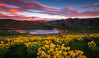 A blanketed hillside of yellow balsomroot, aka mule ear, wildflowers at sunset in East Canyon of the Wasatch Mountains near Salt Lake City, Utah.  Wildflowers in Spring provide a great landscape photography subject.