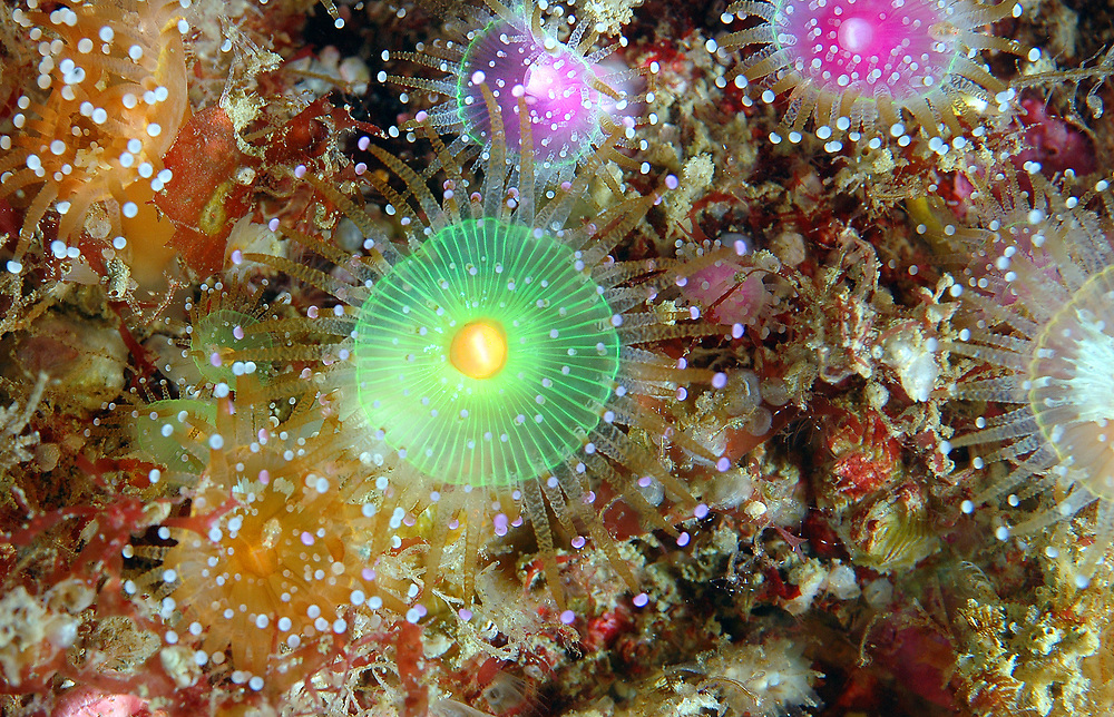 Jewel anemone (Corynactis viridis). Location : Cornwall, England