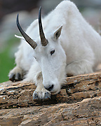 A mountain goat (Oreamus americanus) rests on a boulder, Western Montana