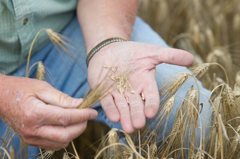 Barley in farmer's hands