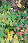 Poison Ivy; Toxicodendron radicans; creeping growth form, autumn; PA, Philadelphia, Fairmount Park; Carpenter's Woods;