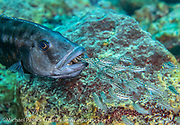 A female Tyrannochromis nigriventer protects her young fry near Maswimbwe Island, Lake Malawi, Malawi, Africa.