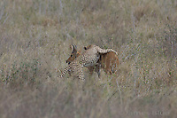 A cheetah takes down a reed buck