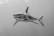 A Shortfin or Short fin Mako Shark, Isurus oxyrinchus, swims near the Azores Bank offshore Pico Island, Azores, a Portuguese archipelago situated in the Northern Atlantic. Image available as a premium quality aluminum print ready to hang.
