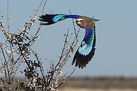 Lilac-breasted Roller  Etosha  Namibia