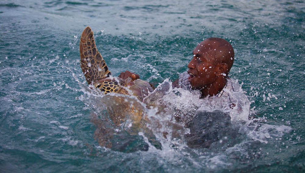 Capturing a green turtle to be measured and tagged as part of a monitoring program