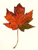 S.E OHIO Leaves
