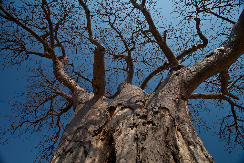 Baobab tree, Ruaha National Park, Tanzania