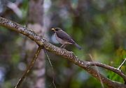 Itabirito _ MG, Brasil..Detalhe de um Sabia peito-roxo no galho de uma arvore em uma floresta... Detail of Sabia peito-roxo  in branch tree of a forest...Foto: JOAO MARCOS ROSA / NITRO