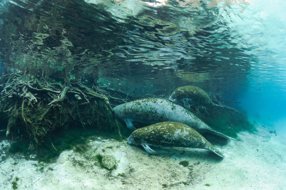 Florida manatee, Trichechus manatus latirostris, a subspecies of the West Indian manatee, endangered. A mother manatee is visiting the submerged tree roots with twin female calves in the warm springs on a cold winter day. Rubbing or chewing on tree roots could be investigation, or it might be scraping of certain root covers for a snack as there is little to eat near the freshwater springs. Twins are rare and these are not documented but evidence suggests they are twins and not a calf plus an adoptee. Rare series. Horizontal orientation with blue water, tree roots and algae. Three Sisters Springs, Crystal River National Wildlife Refuge, Kings Bay, Crystal River, Citrus County, Florida USA.