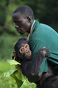 Chimpanzee<br /> Pan troglodytes<br /> Rodney Lemata (Caretaker) carrying infant rescued chimpanzee, Leo<br /> Ngamba Island Chimpanzee, Sanctuary <br /> *Model release available - Release #MR_007