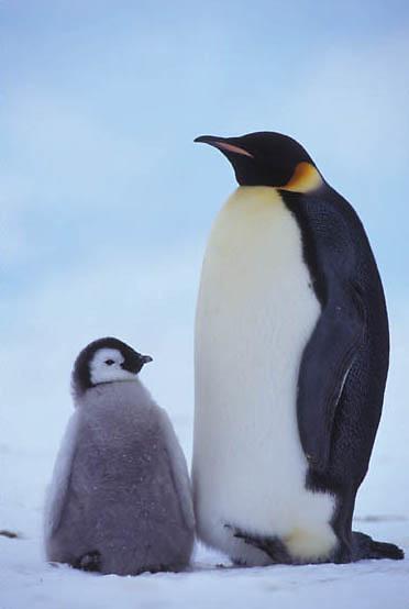 Emperor Penguin, (Aptenodytes forsteri) Adult and chick. Riiser Larsen ice shelf. Antarctica.