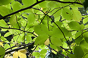 Autumn colours, light through leaves
