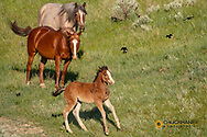 Wild horses with colt stirred up by flying blackbirds in Theodore Roosevelt National Park, North Dakota, USA