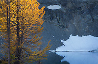 Subalpine Larch (Larix lyallii) and Wing Lake, North Cascades Washington