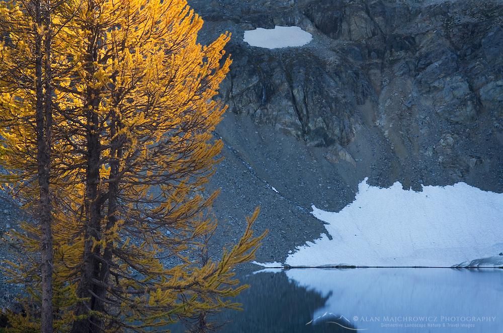 Subalpine Larch (Larix lyallii) and Wing Lake, North Cascades Washington