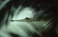 Vereinigte Staaten von Amerika, USA, Florida: amerikanischer Mississippi-Alligator (Alligator mississippiensis). Der Kopf eines Alligators in mit Entengruen bedecktem Wasser, betrachtet durch Palmzweige. | United States of America, USA, Florida: American Alligator, Alligator mississippiensis, head of an Alligator in duckweed swamp, view through palm leaves. |