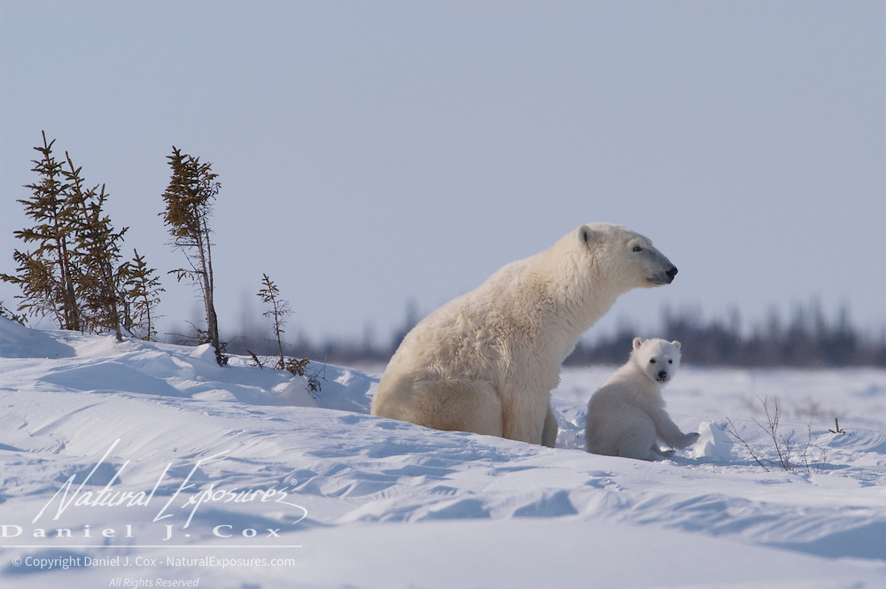 A polar bear mother and her new cub stop to rest in a snow drift in Wapusk National Park. The cub is only weeks old and has recently left the den in temperatres of -46F. They will head towards Hudson Bay to hunt seals. The female has not eaten for nearly six months.