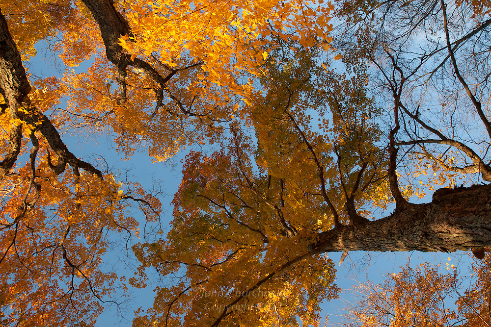 Fall Maple trees in the woods, looking up
