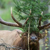 bull elk rubbing pine tree