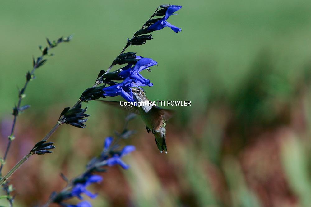 female ruby-throated hummingbird on black & blue salvie
