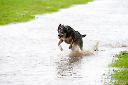 While the threatened floods around Sheffield were of concern to some for others like  Wallace the dog it was a chance to get out and have some fun..6 July 2012.Image © Paul David Drabble